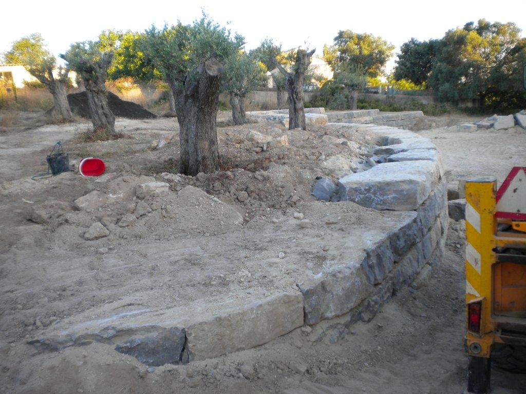 Planting old olive trees