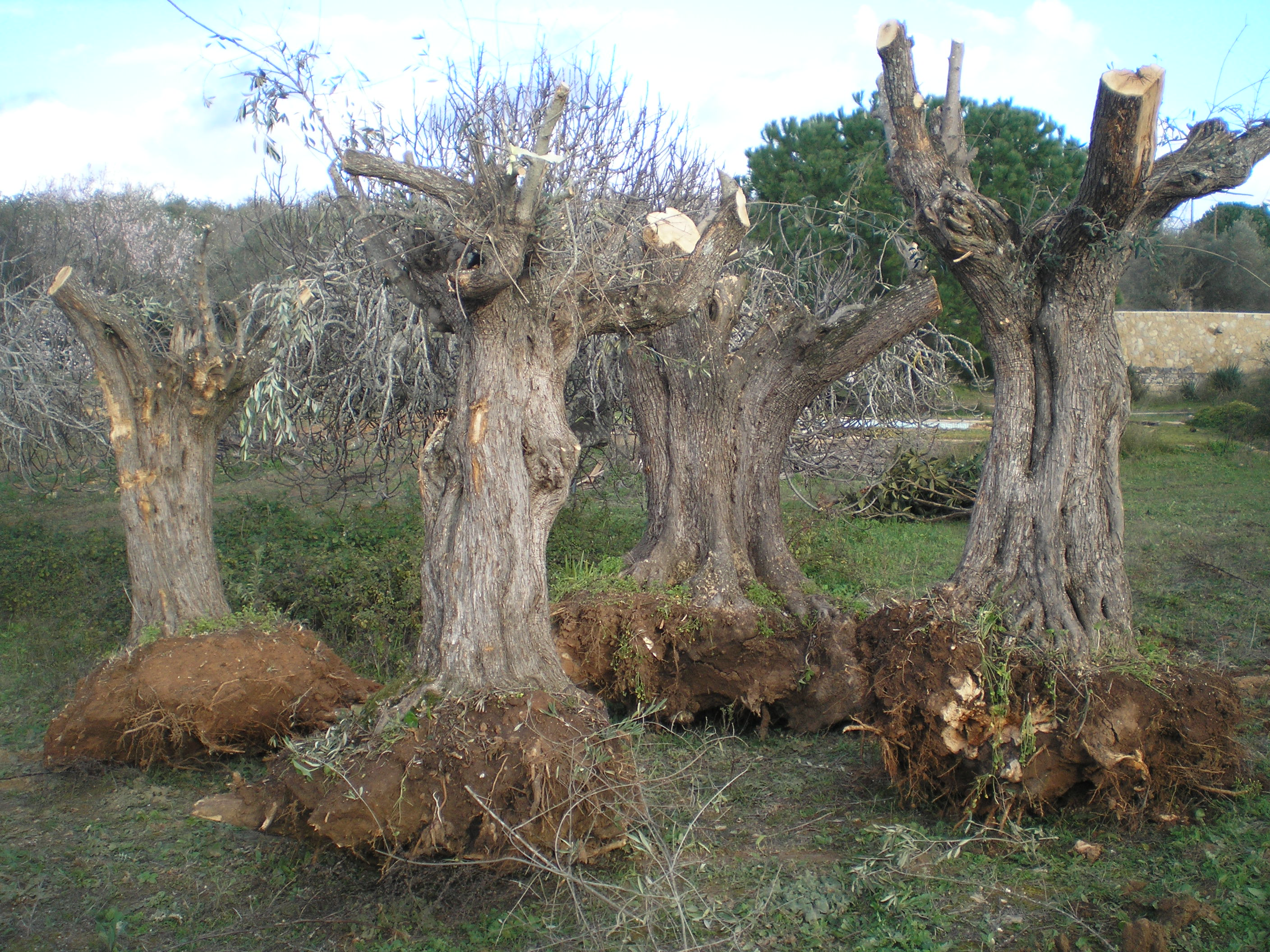 Old olive trees ready to plant